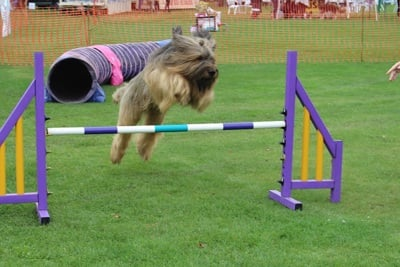 Dog jumping over a hurdle