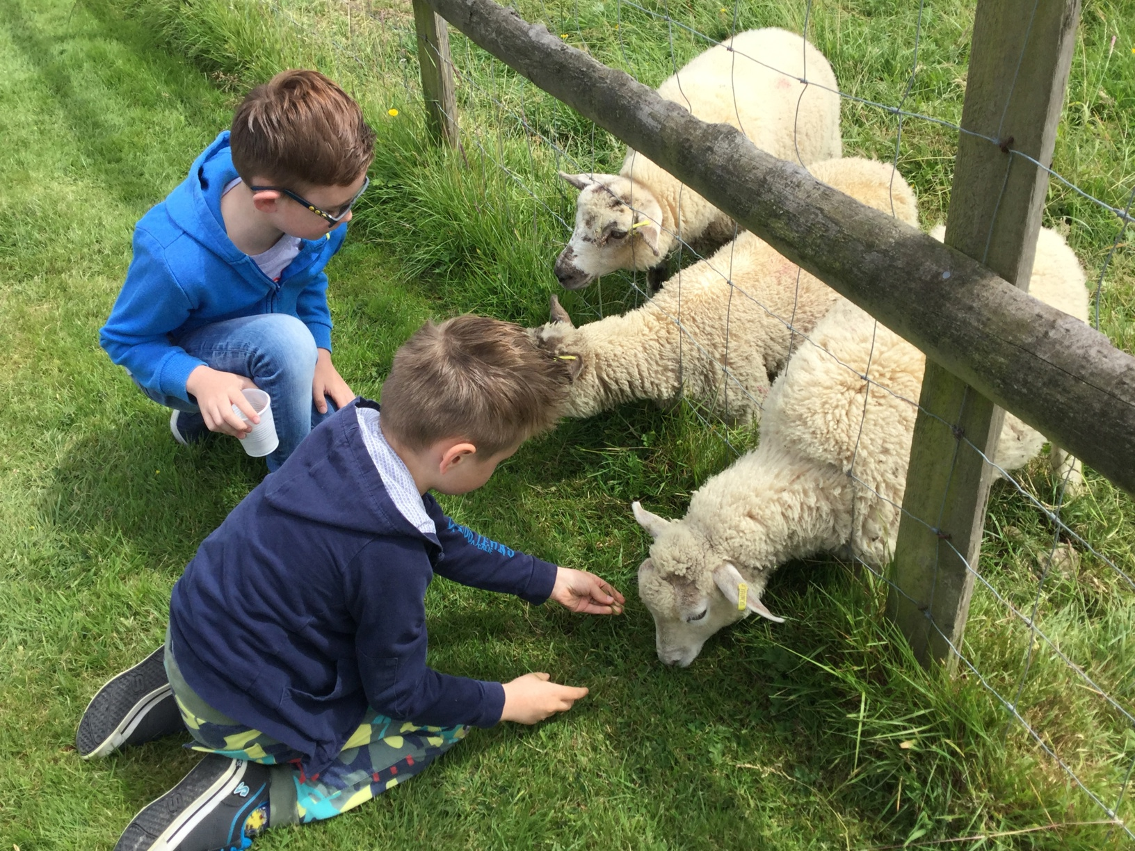 Two young boys feeding three sheep through a fence.